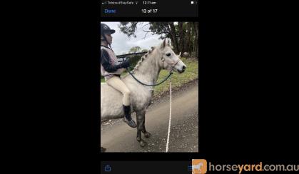 Dapple grey riding pony  on HorseYard.com.au