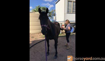 Handsome gelding with potential  on HorseYard.com.au