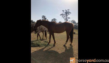 Imperial Jackie-O on HorseYard.com.au