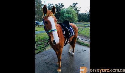Stock Horse x Quarter Horse on HorseYard.com.au