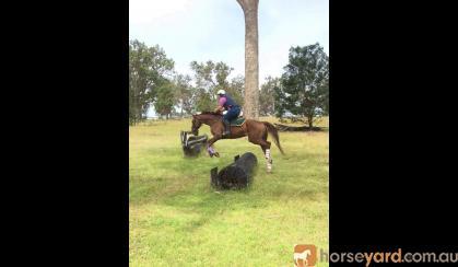 Gentleman  on HorseYard.com.au