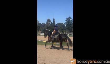Percheron x mare on HorseYard.com.au