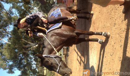 Black Quarter horse mare beginners SOLD on HorseYard.com.au