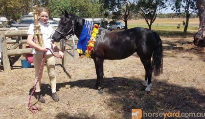Alround pony/ part welsh on HorseYard.com.au