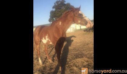 "Paint ""just shameless"" bloodlines mare on HorseYard.com.au"