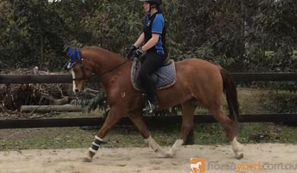 STUNNING WELSH GELDING on HorseYard.com.au