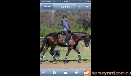 TB Gelding  on HorseYard.com.au