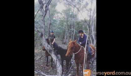 QH Gelding on HorseYard.com.au