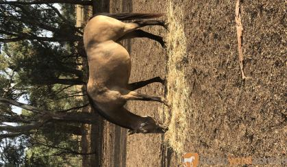 Buckskin Qtr Horse Mare For Sale on HorseYard.com.au