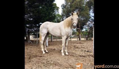 PROJECT Mare: 14.1hh Arab x  on HorseYard.com.au