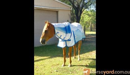'Redman' 16.2hh Chestnut TB Gelding on HorseYard.com.au
