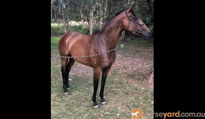 Unraced TB Mare- Ride or Breed on HorseYard.com.au