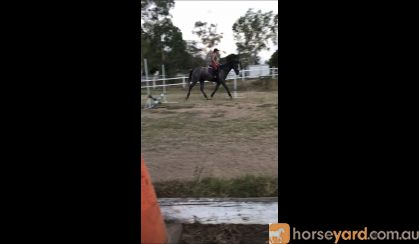 Thoroughbred gelding 18hh on HorseYard.com.au