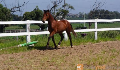 Welsh Cob- Pony Dressage/ Show/ Hunter Potential! on HorseYard.com.au
