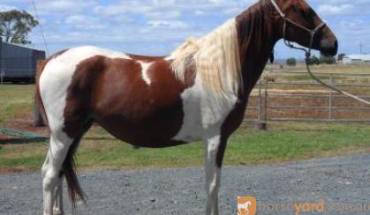 Tobiano Part Arabian Mare on HorseYard.com.au