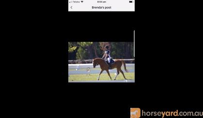 Australian Riding Pony on HorseYard.com.au