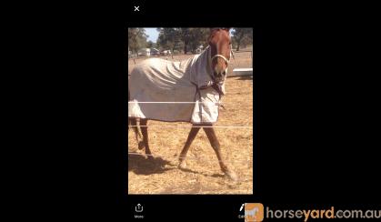 Beautiful sweet standy on HorseYard.com.au