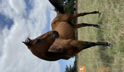Whiskey-TB Gelding on HorseYard.com.au
