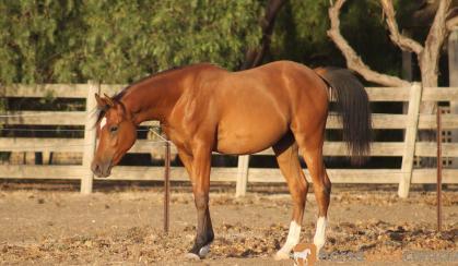 Lovica Versace on HorseYard.com.au