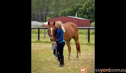 12yr Old OTT Gelding with Dressage Training  on HorseYard.com.au