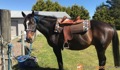Quiet gelding  on HorseYard.com.au