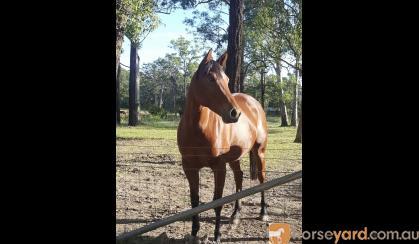 Reg QH Dunskin filly  on HorseYard.com.au