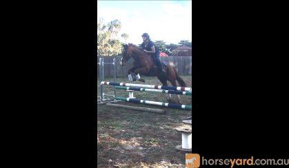 Athletic, sensible 15.2 9yo tb gelding  on HorseYard.com.au