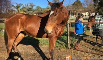 Bay thoroughbred mare on HorseYard.com.au