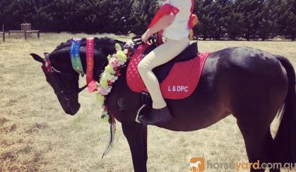 Allrounder Does it all on HorseYard.com.au