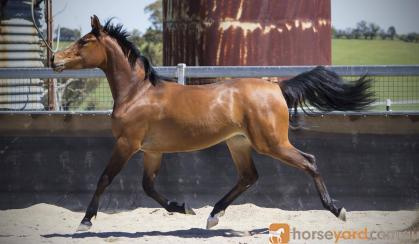 Stunning Anglo Filly  on HorseYard.com.au
