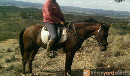 standardbred gelding on HorseYard.com.au