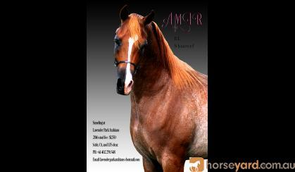 Stunning Arabian Show/Breeding colt on HorseYard.com.au