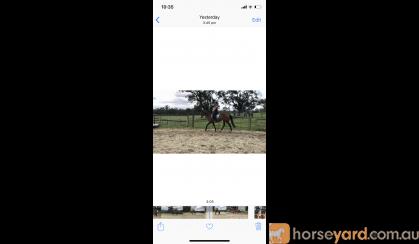 CLEO - super quiet mare  on HorseYard.com.au