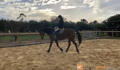Quiet Warmblood Mare - Breed or Ride on HorseYard.com.au