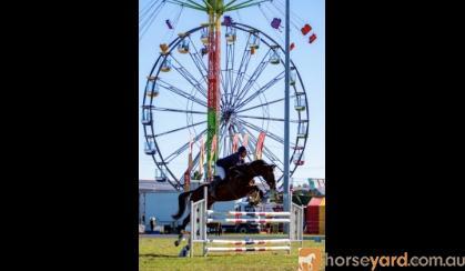Showjumping Warmblood gelding  on HorseYard.com.au