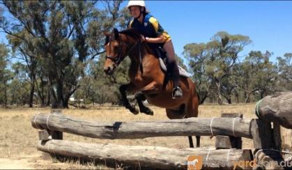 Gorgeous Riding Pony X Welsh Pony on HorseYard.com.au
