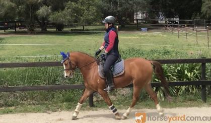 Stunning Welsh Gelding on HorseYard.com.au