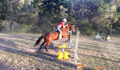Stock horse gelding 15.1hh 5yrs on HorseYard.com.au