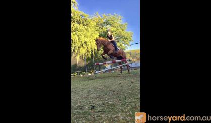 Chestnut Gelding on HorseYard.com.au