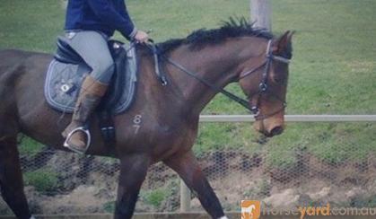 Fuss free all rounder/eventer on HorseYard.com.au