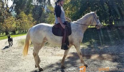 Show Quality Appaloosa Gelding on HorseYard.com.au