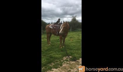 Chestnut QH-Appaloosa  on HorseYard.com.au