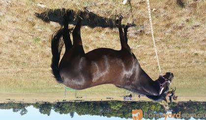 NEW FOREST X PONY on HorseYard.com.au