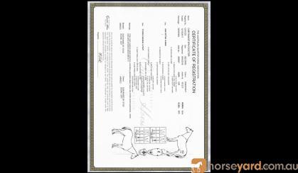 Registered QH Gelding on HorseYard.com.au