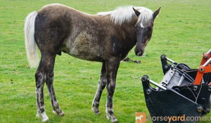 Black silver dapple taffy colt on HorseYard.com.au
