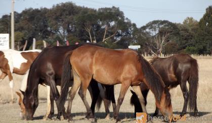 Chocky 18mo Clydie X Australian pony filly great temperament on HorseYard.com.au