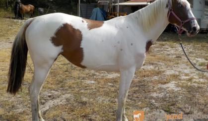Pretty 3yr Paint Filly on HorseYard.com.au