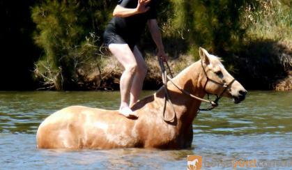 Quiet Golden Palomino QH Mare + VIDEO on HorseYard.com.au