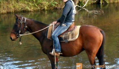 Hard Working Stock Horse Gelding + VIDEO++ on HorseYard.com.au