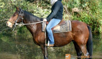 Tough Working Stock Gelding + VIDEO+ on HorseYard.com.au